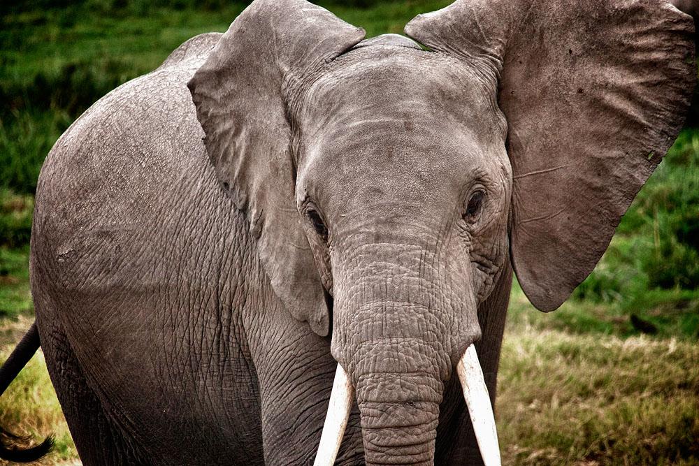 Hoor ik dat goed? Olifanten horen het verschil tussen twee talen?!